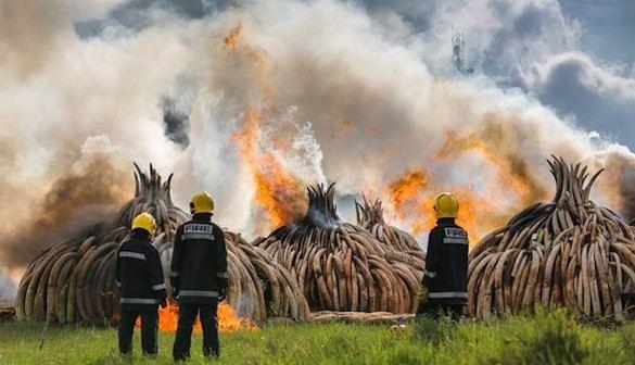 Kenia incinera 105 toneladas de marfil para amedrentar a los furtivos