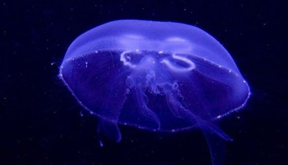 Desvelado el secreto mejor guardado de las medusas