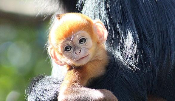 Nace en el zoo de Sidney una cría del extraño mono de Francois Langur