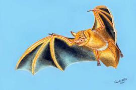 Ilustración del 'Myotis nimbaensis', una nueva especie de murciélago que se ha descubierto en las montañas Nimba de África occidental