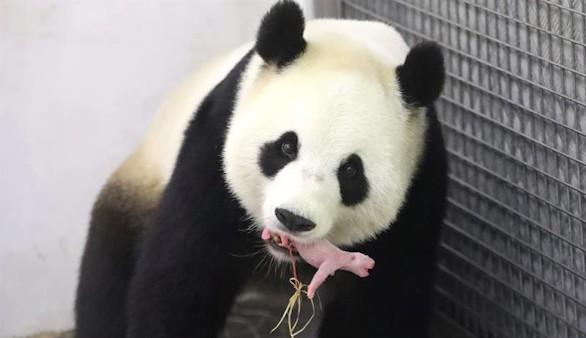 Crónica salvaje. Nace un oso panda gigante,