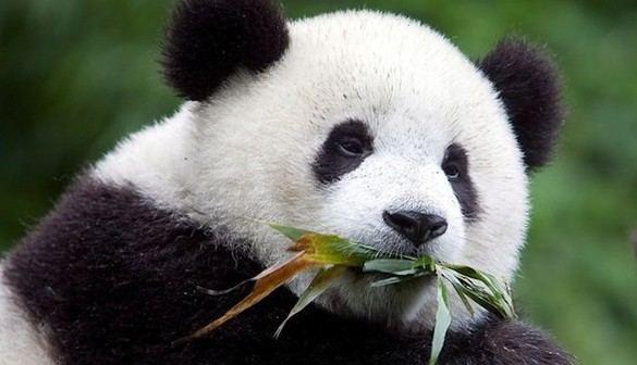 Crónica salvaje. La 'claustrofobia' a la que se ven condenados los pandas
