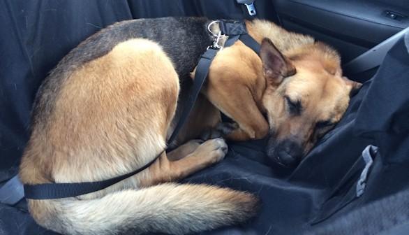 Cómo adiestrar a un perro: Viajar en coche con nuestro perro