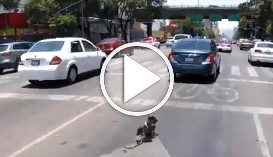 Vídeos virales. Perro se juega la vida en trepidante persecución