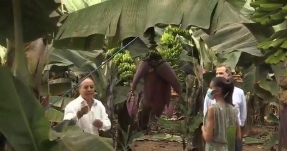 Los Reyes visitan una plantación de plátano canario en apoyo al sector primario