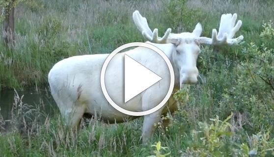 Vídeos virales. El raro avistamiento de un alce blanco