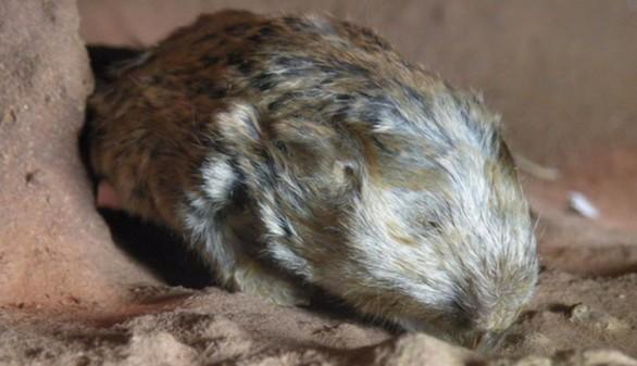 Crónica salvaje. Dos nuevas especies se unen a la familia de los ratopines