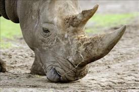 Caballos y rinocerontes surgieron de una India flotante