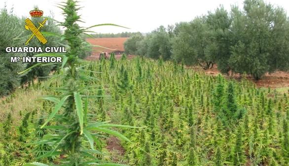 Incautado en Albacete el mayor alijo de marihuana en España